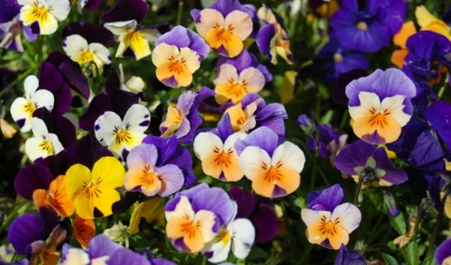 Combine Annuals and Perennials this Spring