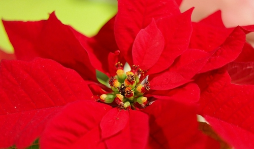 Take the poinsettia challenge