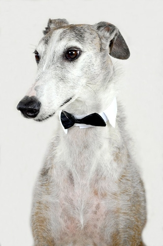 Paws on the Mountain Greyhound Rescue Greyhound Saturday's!