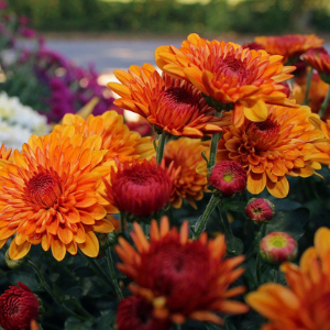 Mums-Assorted Colors