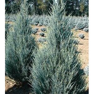 4' Blue Arrow Juniper B&B 50% OFF