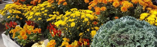 Fall mums, pansies,