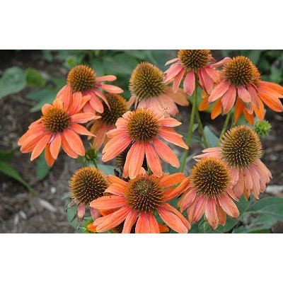 'Sombrero Adobe' Orange Coneflower