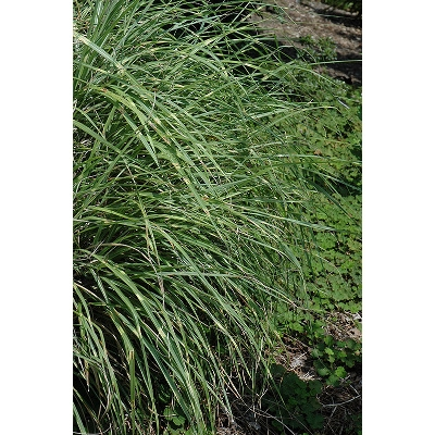 'Little Zebra' Perennial Ornamental Grass