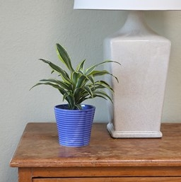'Lemon Surprise' Dracaena Houseplant
