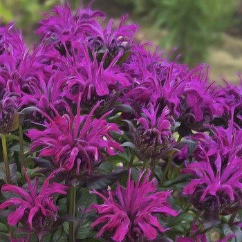 SUGAR BUZZ® Rockin' Raspberry Bee Balm by Walters Gardens Inc.