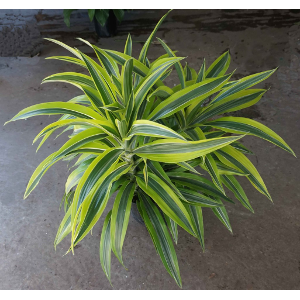 Tropical Dracaena fragrans