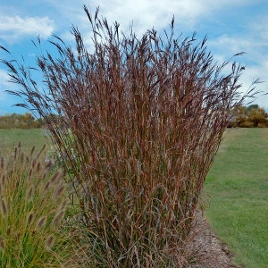 Big Bluestem Indian Warrior Grass