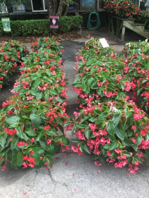 Dragon Wing Begonia Hanging Baskets