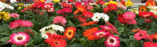 Gerbera Daisies In Stock!