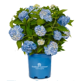 'The Original' Endless Summer Hydrangeas