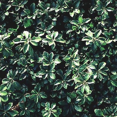 Green Pachysandra Ground Cover