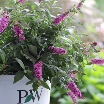 Lo & Behold 'Pink Micro Chip' Butterfly Bush