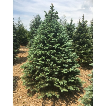 Baby Blue Spruce Tree