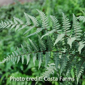 Hardy Ghost Fern