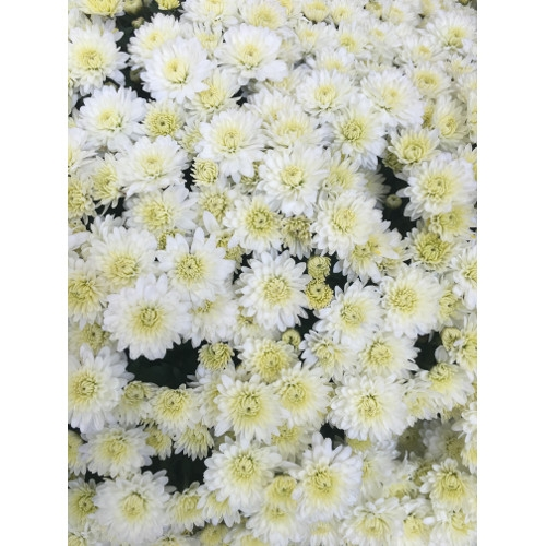 White mums walnut ridge nursery and garden center white mums mightylinksfo