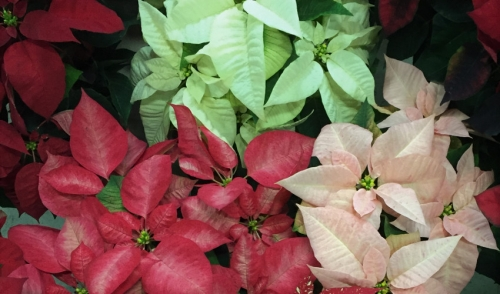Perfect Poinsettias