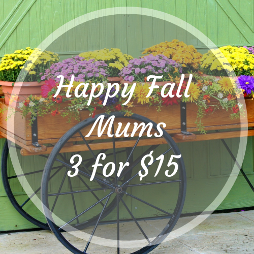 Mums 3 for $15