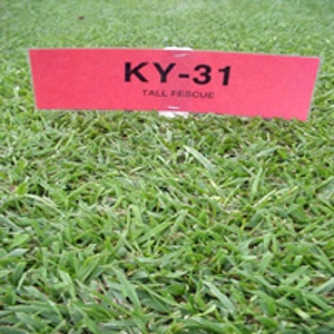 Seedland® Kentucky 31 Grass Seed