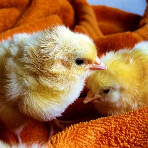 Chicks Are Here!