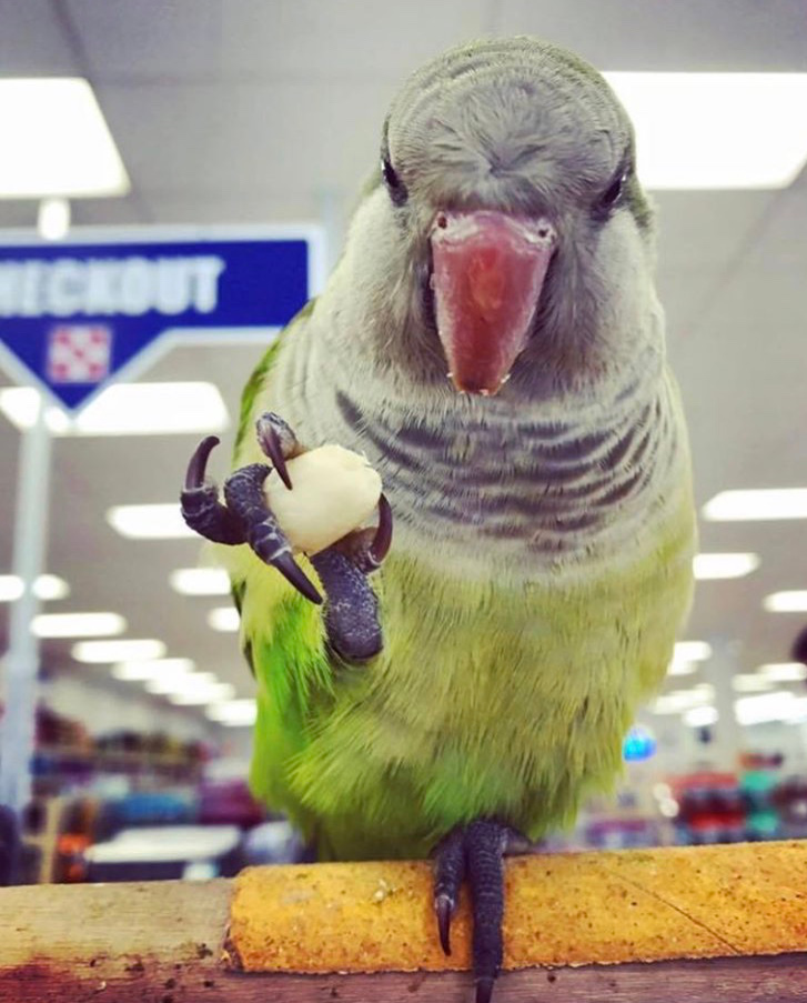 George the Quaker Parrot at our Midland Store before he found his forever home