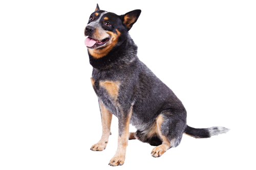 Australian Cattle Dog (also known as Heelers)