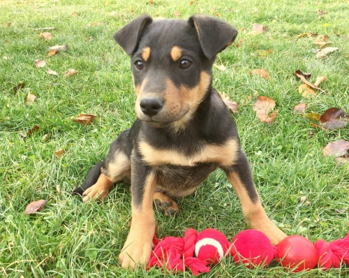 German Shepherd/Heelers