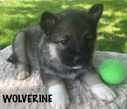 Norwegian Elkhound/Pomskies
