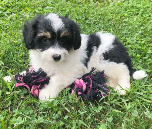 Available Puppies | Booth's Corner Pet Supply-Boothwyn, PA