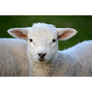 Super Lamb® Milk Replacer 25lb
