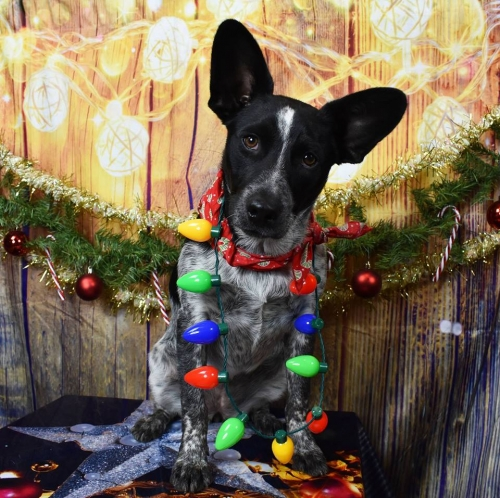 Christmas Pet Portraits to Benefit Pflugerville Pets Alive