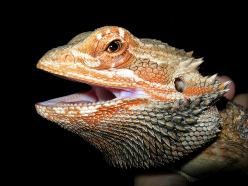 Baby Bearded Dragon Only $29.99 With Purchase