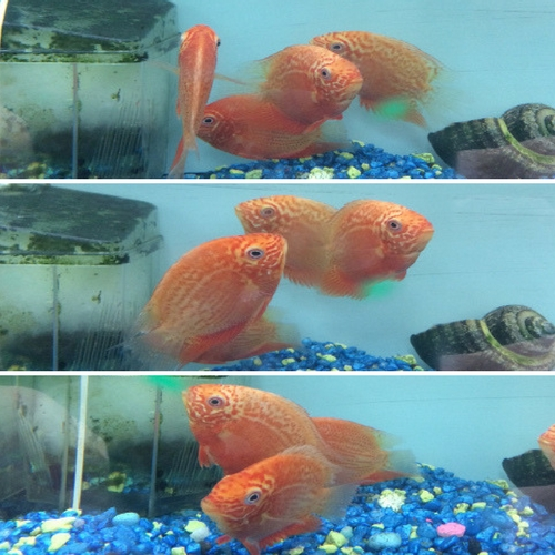 Red Spot Severum