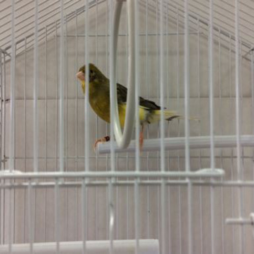Male Variegated Canary