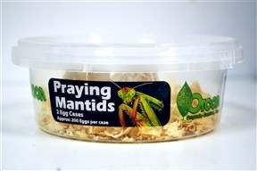 Praying Mantids (2 Egg Cases)