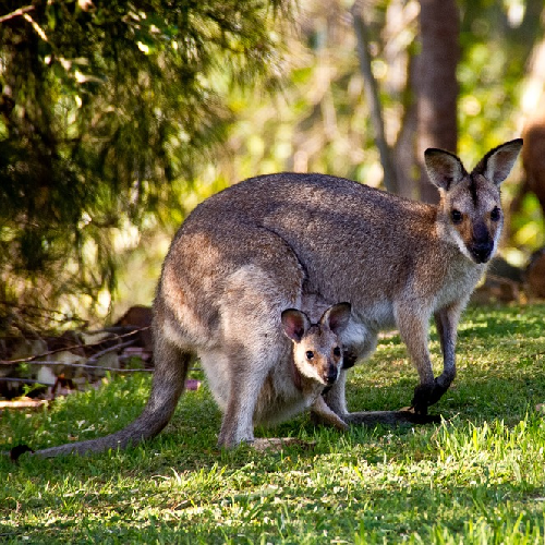 Mazuri Kangaroo/Wallaby Diet