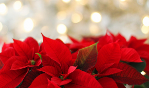 Caring For Holiday Poinsettias