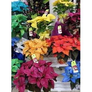 Dyed Poinsettias