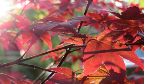 Plant of the Week: Japanese Maple