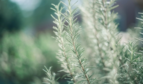 Plant of the Week: Rosemary