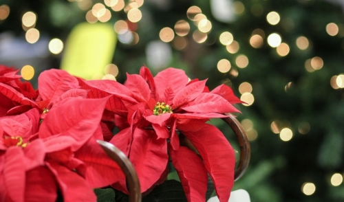 Plant of the Week: Poinsettias