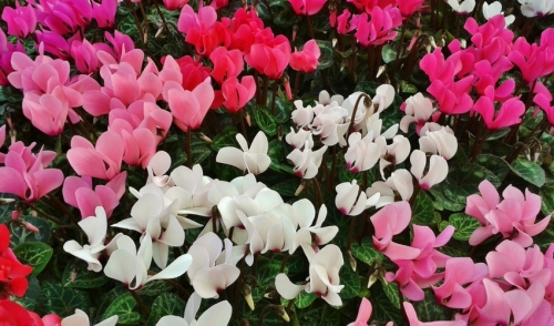 Plant of the Week: Cyclamen