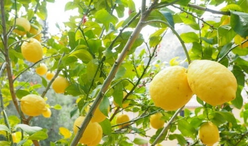 Plant of the Week: Improved Meyer Lemon