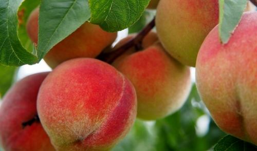 Plant of the Week: Peach Trees