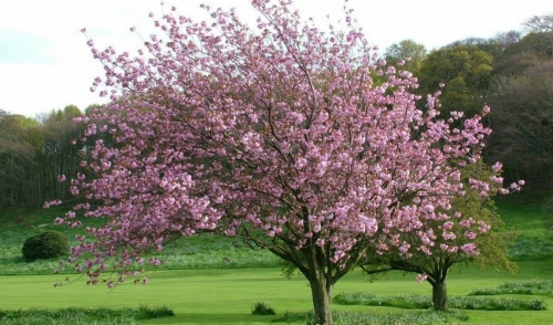 Plant of the Week: Japanese Magnolia