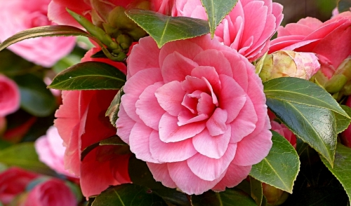 Plant of the Week: Camellia