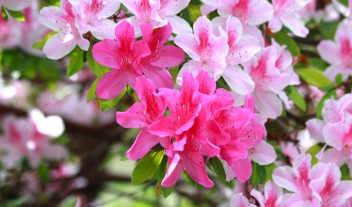 Plant of the Week: Azaleas