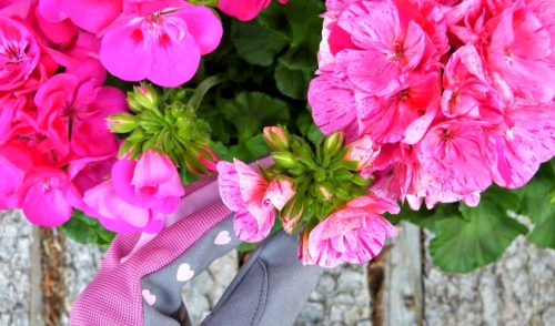 Plant of the Week: Geraniums