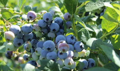 Plant of the Week: Blueberry!