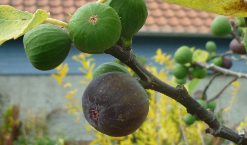 Plant of the Week: Fig Trees!